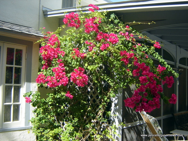 bouganvillia red