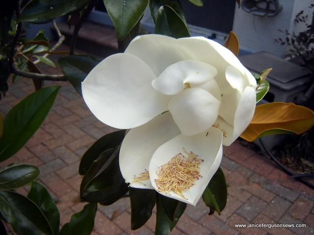 magnolia blossome 2