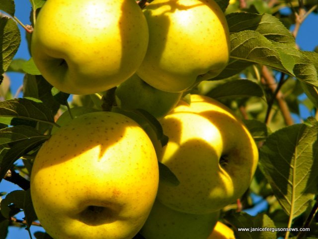 I bet YOU are a good apple, a sweet Honeygold.