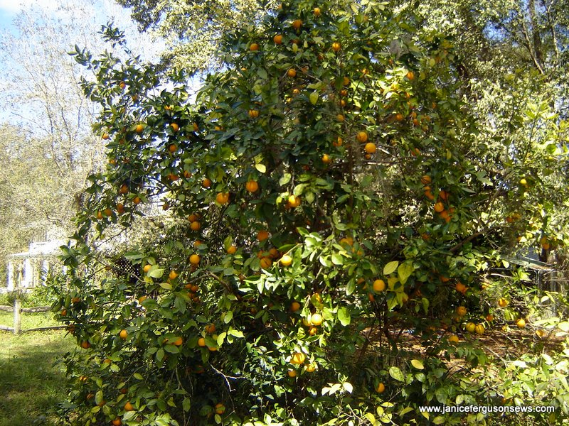 It's time to fertilize the citrus.  And get it picked.