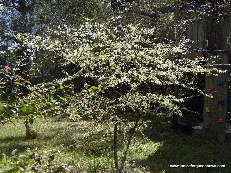 Rusty, my formerly feral cat, likes to hang out near this wild flowering plum and the tree house.